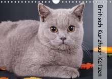 Gabriela Wejat-Zaretzke: Britisch Kurzhaar Katzen (Wandkalender 2020 DIN A4 quer), Diverse