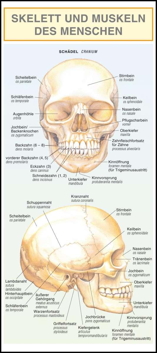 Skelett und Muskeln des Menschen. - Barbora Dancová (Buch) – jpc